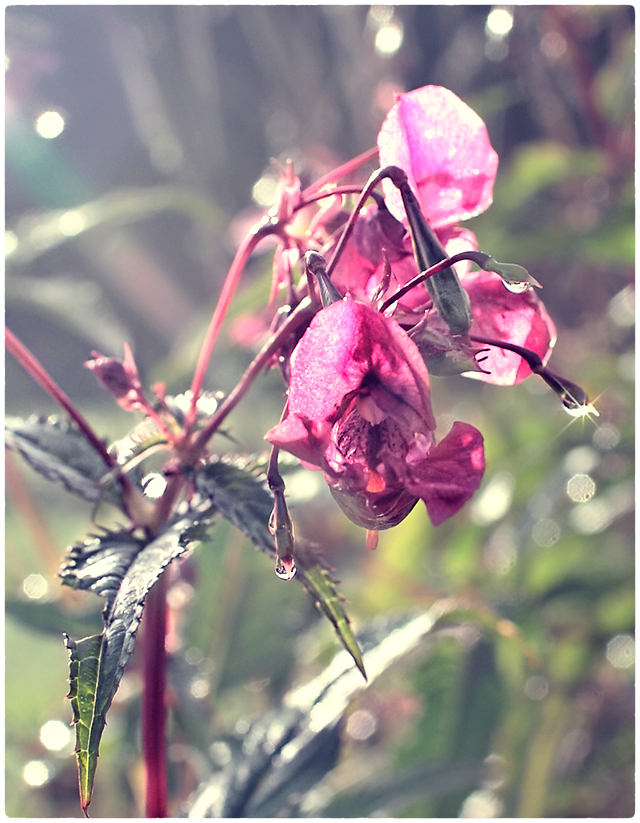 morning dew-1